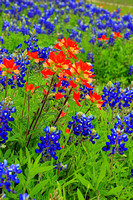 Texas Wildflowers and Missions 1604